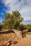 Utah Juniper 8 stock images