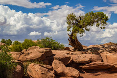 Utah Juniper and Clouds royalty free stock photo