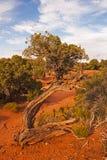 Utah Juniper Royalty Free Stock Photos