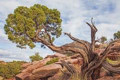 Utah Juniper at Grand View. In Canyonlands National Park Utah Royalty Free Stock Images