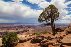Utah Juniper Stock Photo