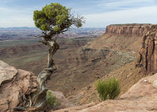 Utah Juniper Tree and Canyon at Canyonlands in Utah. Utah Juniper (Juniperus osteosperma) tree on the edge of a deep canyon in Canyonlands National Park near royalty free stock photography