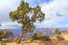 Utah Juniper Tree in Grand Canyon NP Stock Photography