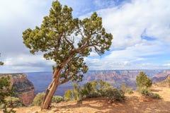Utah Juniper Tree in Grand Canyon NP Stock Photography