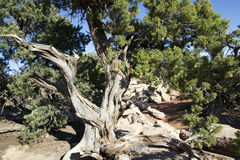 Utah Juniper Tree,  Juniperus osteosperma Royalty Free Stock Images