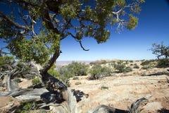 Utah Juniper Tree,  Juniperus osteosperma Royalty Free Stock Photography