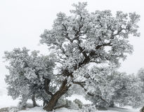 Utah Juniper Tree (Juniperus osteosperma) in snow Royalty Free Stock Image