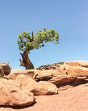 Utah Juniper on the West Rim Trail, Dead Horse State Park, UT Royalty Free Stock Images