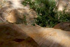 Utah Lizard Royalty Free Stock Photo
