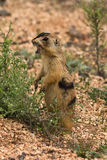 Utah Prairie Dog Royalty Free Stock Photos