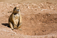 Utah Prairie Dog Near Den Entrance Royalty Free Stock Photography