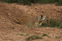 Utah Prairie Dog Stock Image