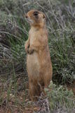 Utah Prairie Dog Stock Photography