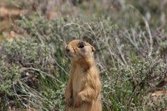 Utah Prairie Dog Stock Photo