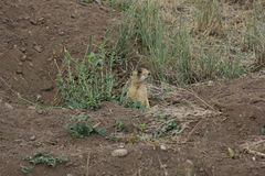 Utah Prairie Dog Royalty Free Stock Images