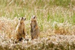 Utah Prairie Dogs Stock Photos