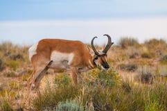 Utah Pronghorn American Antelope - Antilocapra americana Stock Photography