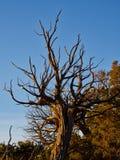 Utah-Wacholderbusch-blauer Himmel Stockbild