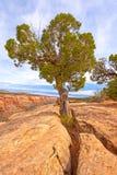 Utah-Wacholderbusch, der heraus von den Felsen wächst Lizenzfreie Stockfotos