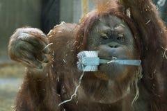 Utan Affeabschluß des Orang-Utans herauf Porträt Stockbild