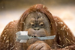 Utan Affeabschluß des Orang-Utans herauf Porträt Stockfoto
