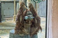 Utan Affeabschluß des Orang-Utans herauf Porträt am Zoo Stockfotos
