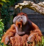 utan bornean orang Royaltyfri Bild