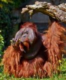 utan bornean orang Arkivfoton