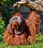 utan bornean orang Royaltyfri Fotografi