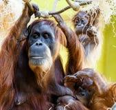 utan orang的猩猩 库存图片