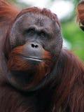 Utan orang-oetan Stock Afbeelding