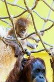 utan orang orangutan Fotografia Royalty Free
