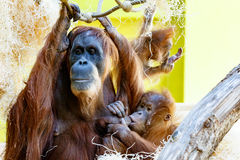 utan orang orangutan Obrazy Stock