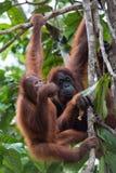 Utan orangutang Royaltyfri Bild