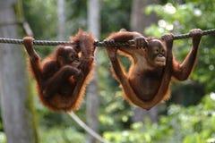 Utan orangutang, Sabah, Malaysia Arkivfoto