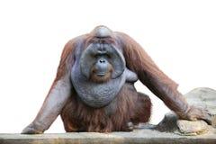 Utan sammanträde för orangutang på vit 1 Royaltyfri Fotografi