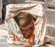 Utan Spielen des Orang-Utans mit einer Decke stockfotografie