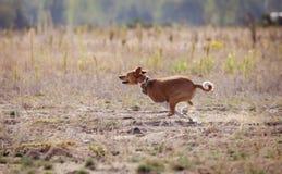 Utbildande jaga Det Basenji hundspåret stöter ihop med Arkivfoton