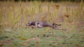 Utbildande jaga Hund för italiensk vinthund Royaltyfria Bilder