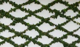 Utbildat klättra murgrönan Royaltyfri Fotografi