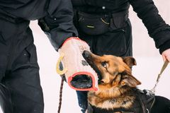 Utbildning av den fullblods- Young Dog Or för tysk herde schäfer Wolf Dog Attack och försvar Utbildning med muffen i vinter fotografering för bildbyråer