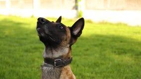 Utbildning av en herdehund med en hundförare på gräsyttersidan på en solig dag stock video