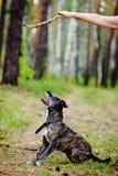 Utbildning av en hund Arkivfoto