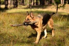 Utbildning av en tysk herde i det skogOporto laget Royaltyfria Foton