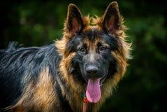 Utbildning av hunden Fotografering för Bildbyråer