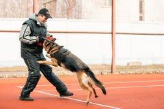 Utbildning för hund för tysk herde i regionala Gomel royaltyfria bilder