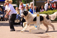 utbildning för hundshow Royaltyfria Bilder