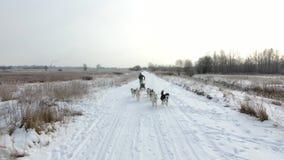 Utbildningsslädehundkapplöpning på den lantliga vägen i vinter lager videofilmer
