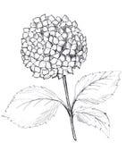 Utdragen grafisk vanlig hortensia för hand Svartvit rasterillustration vektor illustrationer