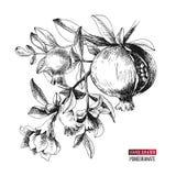 Utdragen granatäpplefilial för hand stock illustrationer